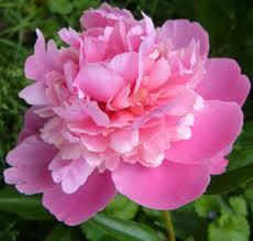 pink_peony_image