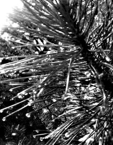 ansel_pine