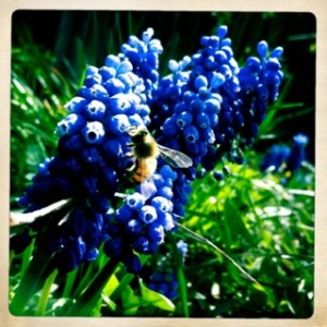 grapehyacinth_bee2