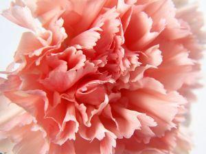 carnation_shot