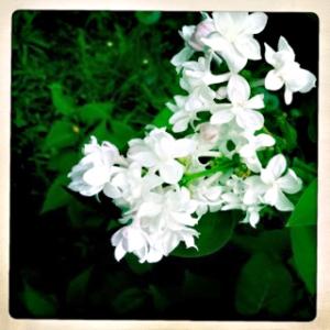 white_lilacs1_dsh