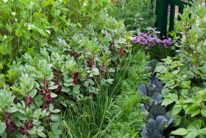 Mixed Vegetable garden with broad beans, cabbage, chive herbs, carrots, sweetpeas