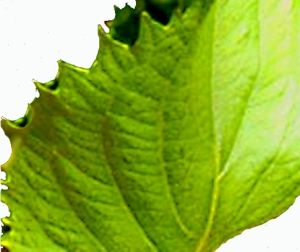 wasabi_shiso2_leaf_small_white